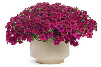Millionbells - Calibrachoa Cherry Red